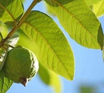 para que sirven las hojas de guayaba